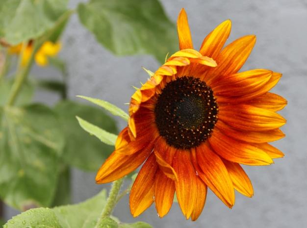 OrangeSunflower