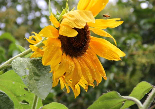 SunflowerAndTheBee